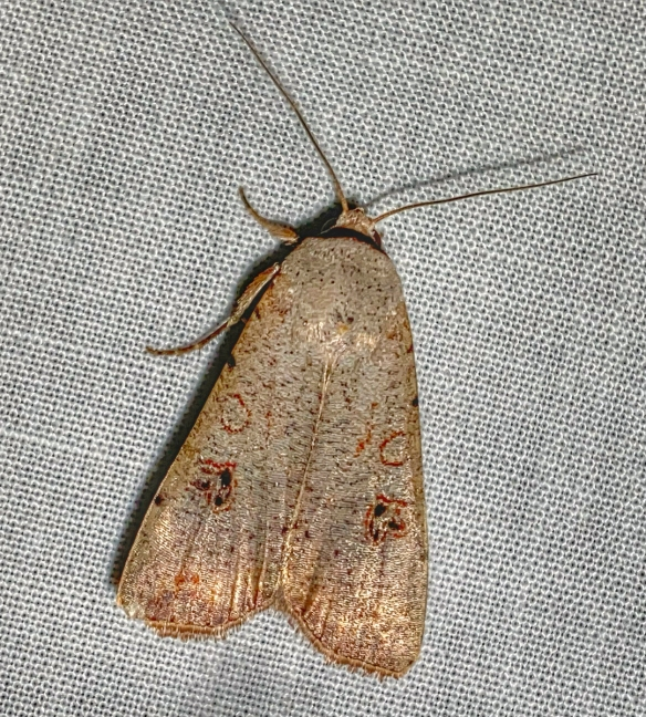 Green Cutworm Moth, Anicla infecta