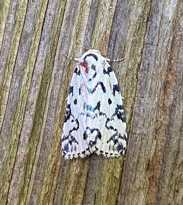 Hebrew Moth, Polygrammate hebraeicum