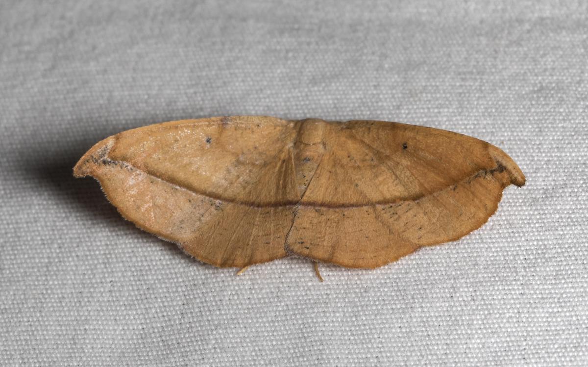 Juniper-twig Gemeter Moth, Patalene olyzonaria