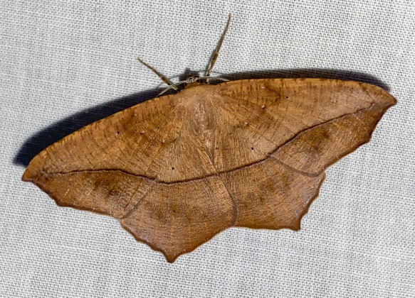 Large Maple Spanworm Moth, Prochoerodes lineola