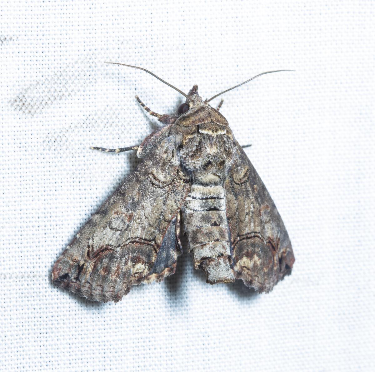 Large Paectes Moth, paectes abrostoloides