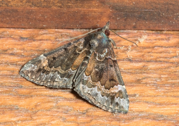 Mottled Snout, Hypena palparia