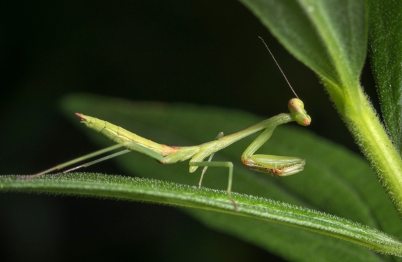 Preying mantis nymph