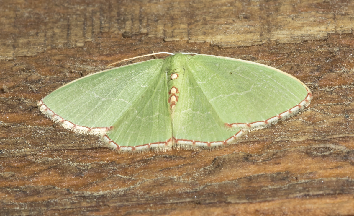 Red-bordered Emerald, Nemoria lixaria