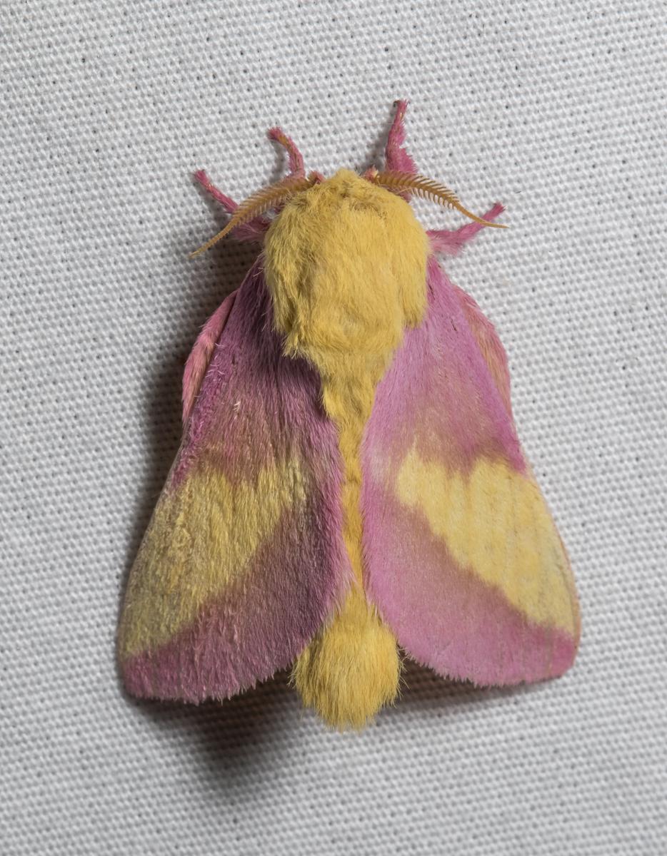 Rosy Maple Moth, Dryocampa rubicunda