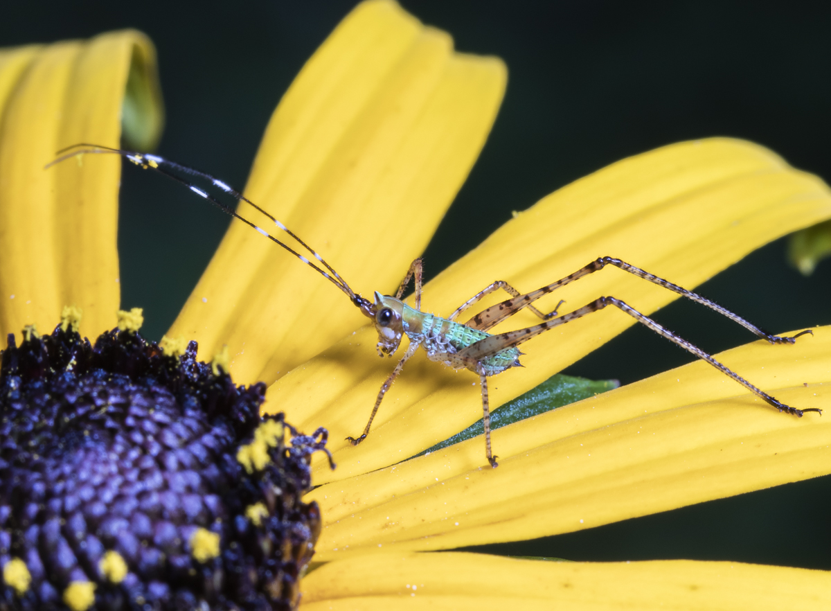 Scudder's bush katydid nymph on black-eyed Susan
