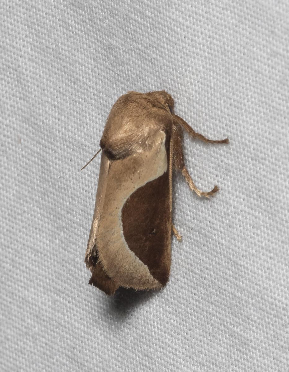 Skiff Moth, Prolimacodes badia