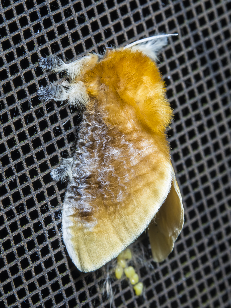 Southern Flannel Moth, female