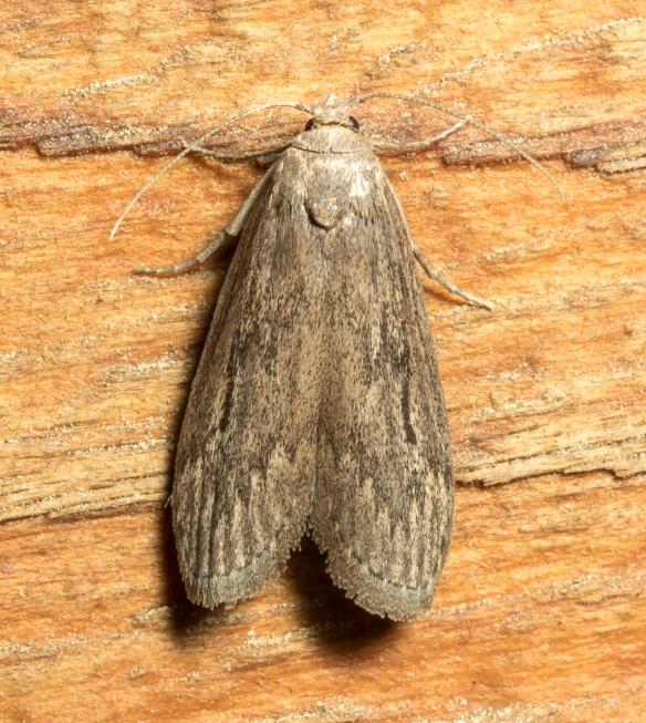 Terrenella Bee Moth, Aphomia terrenella