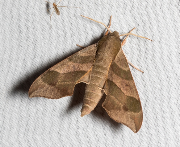 Virginia Creeper Sphinx, Darapsa myron