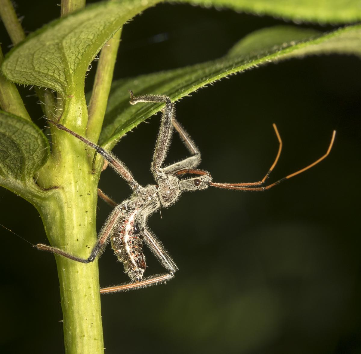 Wheelbug nymoh