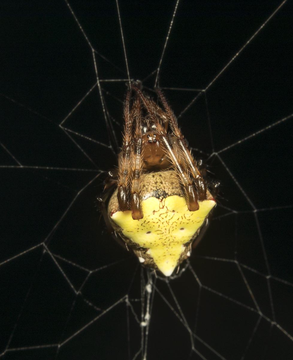 Arrowhead orbweaver, Verrucosa arenata