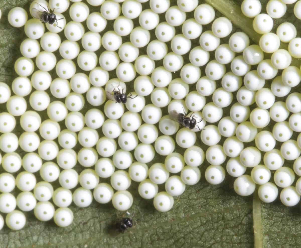 eggs and parasitoid wasps