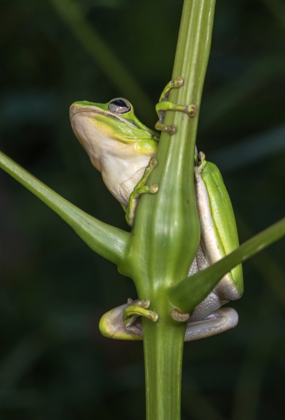 green treefrog ready to move