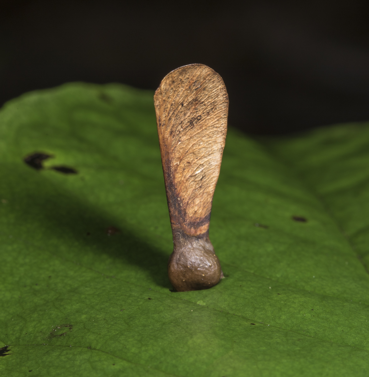 maple seed embedded in pawpaw leaf