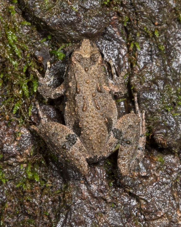 northern crickrt frog from above