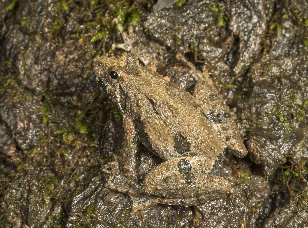 northern crickrt frog