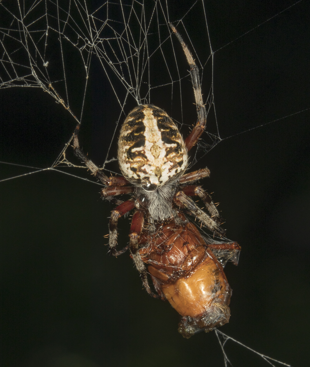 Red-femured spotted orbweaver, Neoscona domiciliorum 1