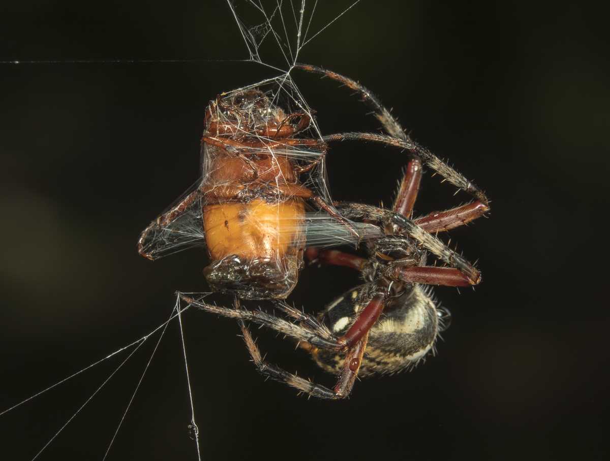 Red-femured spotted orbweaver, Neoscona domiciliorum wrapping be