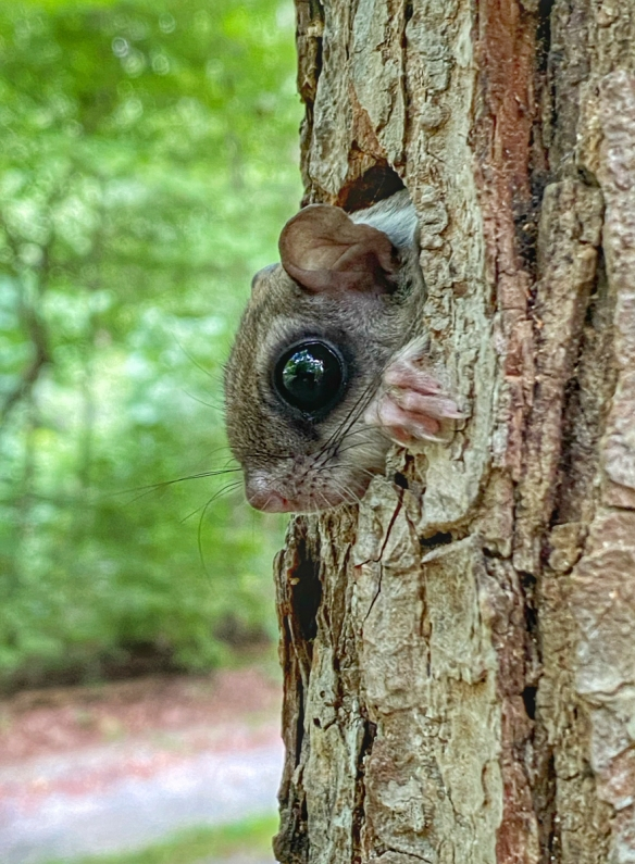 Southern flying squirrel at nest box