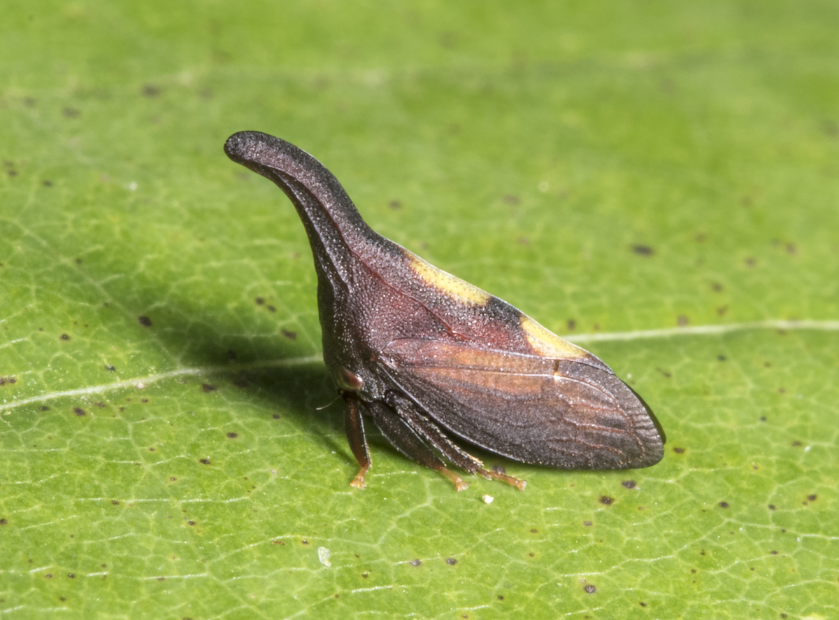 Two-marked Treehopper, Enchenopa binotata complex