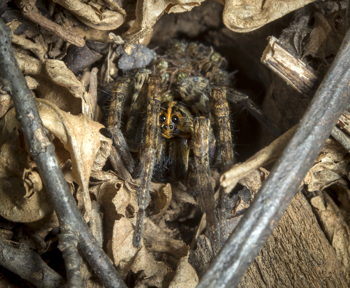 wolf spider in burrow
