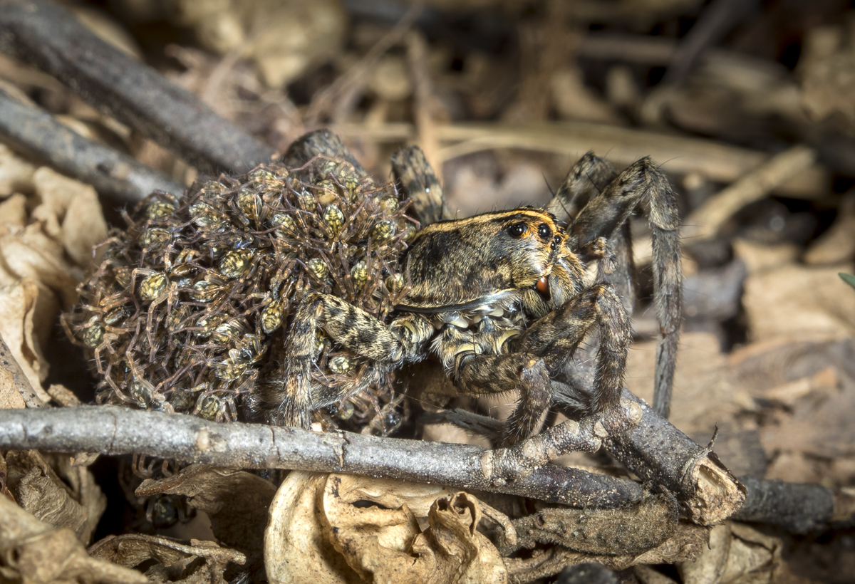 wolf spider with young on back side view