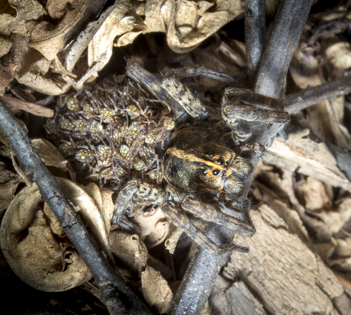 wolf spider with young on back top view